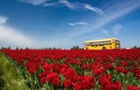 Skagit Tulip festival Washington