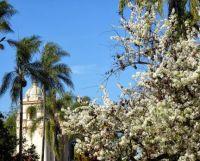 Balboa Park - Ornamental Pear Trees and Building