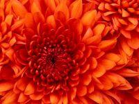 Chrysanthemum gronups