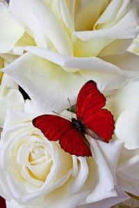 Red Butterfly on White Rose