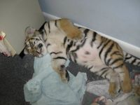 Sleeping tiger cub.  Look at that belly!!
