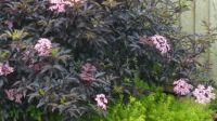My Black Elder in flower