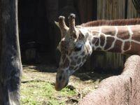 Giraffe: