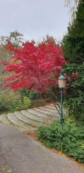 Ahornbaum im Kurpark Oberlaa