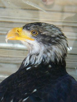 Fishing Eagle close up