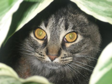 Cat in the Hosta