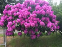 Rhodie in bloom