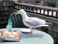 Seagull having lunch with me in Newport RI      029-001