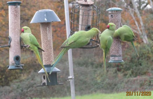 Rose Ringed Parakeets take over the sunflower feeders