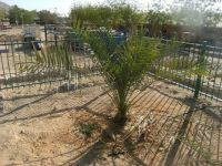 Methuselah - The Date Palm Grown From A 2000 Year-Old Seed