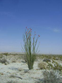 Ocitillo in Anzo Borrego Desert