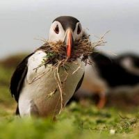 Scottish puffin