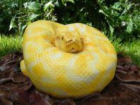 Albino Burmese Python Birthday Cake