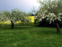 White Apple Blossoms Against A Field Of Yellow