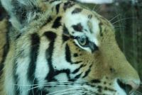 Siberian tiger...Highland Wildlife Park...through glass