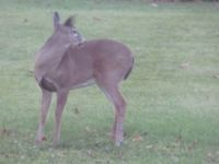 deer in yard 010