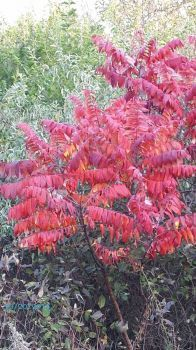 Sumac,Burnridge Woods