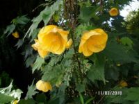 Yellow Abutilon