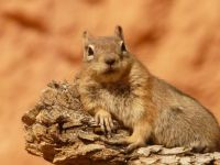 1 18 golden-mantled-ground-squirrel-