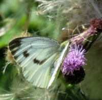 large cabbage white on thistle (groot koolwitje)