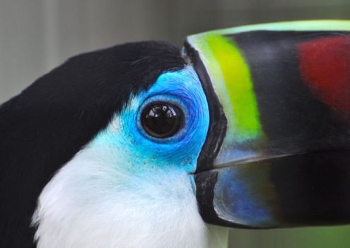 Red-billed Toucan...South America.