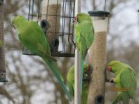 Four of this mornings Rose Ringed Parakeets tucking into breakfast
