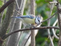 Blue Tit (nl: Pimpelmees)