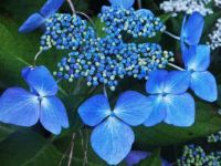 Hydrangea - July - Devon