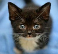 Maggie the Tuxedo Kitty