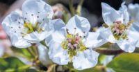 Apple blossoms at Oak Glen