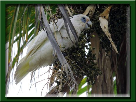 Corella Looking For The Choicest Morsel....