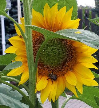 Sunflower & Bee 2