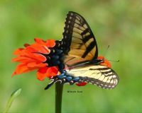 Swallow Tail Butterfly on Zinna