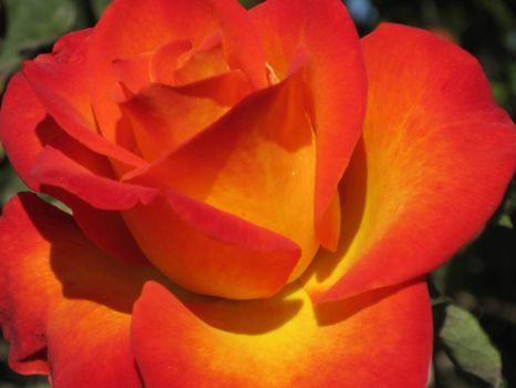Beautiful rose .. a little closer shot