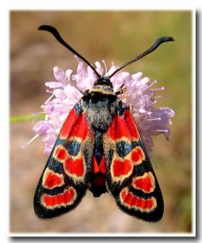Santa Claus Burnet Moth.
