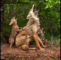 Learning to Howl