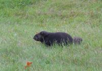 black groundhog
