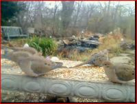 mourning doves at feeder