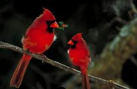 Two Male Cardinals