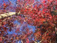 Autumn colours. Hogsback