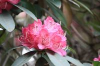 182_8977  rhododendron