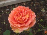 Rose for grandchild number 7