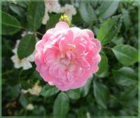 Rockery rose, Skalková růže