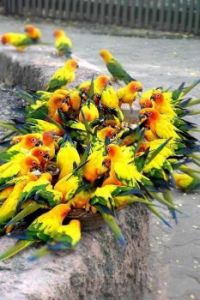 Green and Yellow Parrots in a Feeding Frenzy