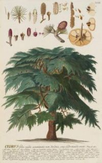 Cedar, from: C.J. Trew and B.C. Vogel, Plantae selectae, 1750-1773 (R337A03)