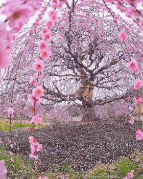 A 200-year-old cherry tree in Japan- Or is it a plum tree?