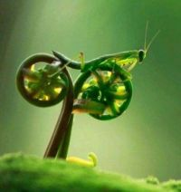 A Praying Mantis on Fiddlehead Ferns...