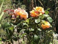 IMG_0151 Vineyard roses