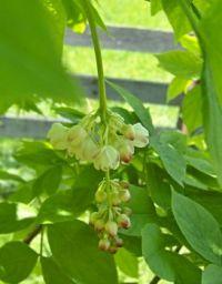 klokoč zpeřený (klokočí), Staphylea pinnata