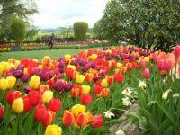 Tulips in WA